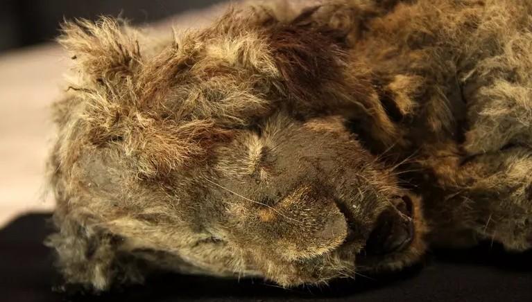 filhote - Filhote de leão-das-cavernas de 28 mil anos é encontrado praticamente intacto