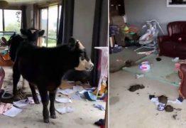 Vacas de estimação invadem casa e provocam prejuízo de R$ 58 mil