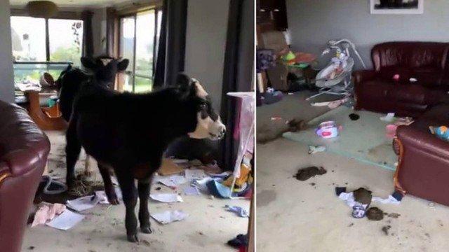 xblog cows.jpg.pagespeed.ic .OahqZFBGhn - Vacas de estimação invadem casa e provocam prejuízo de R$ 58 mil