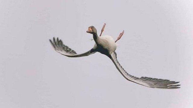 xblog goose.jpg.pagespeed.ic .H4bqaXFbet - Ganso é visto voando de cabeça para baixo 'para impressionar amigos'