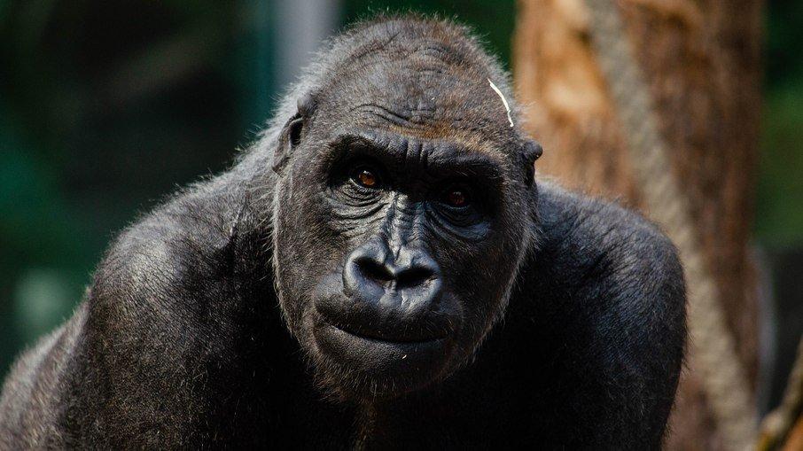 6g6w2mda74twkw1t4bw12kj40 - Treze gorilas têm teste positivo para coronavírus em zoológico nos EUA