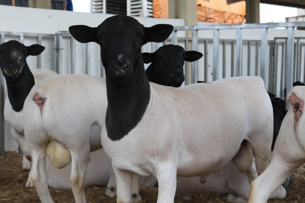 bode - Exposição deve reunir mais de 2 mil ovinos e caprinos em Campina Grande