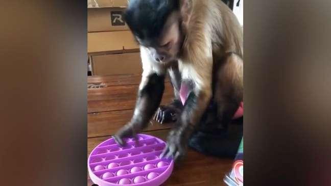 macaco brincand - POP-IT: Brinquedo que alivia stress viraliza após macaco-prego famoso brincar com ele - VEJA VÍDEO