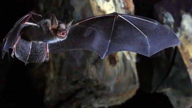 xblog bat.jpg.pagespeed.ic .cQ7kp9iGea - Idoso morre após ser mordido no pescoço por morcego enquanto dormia