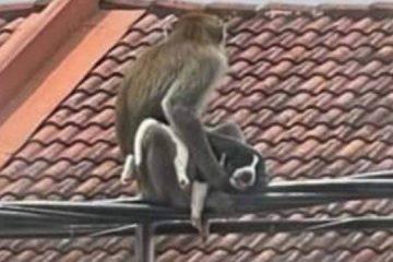 Gangue de macacos selvagens 'sequestra' filhote de cão