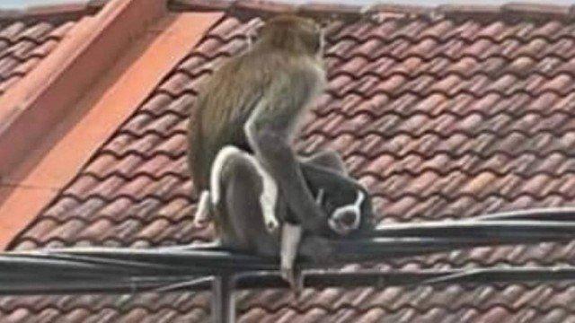xblog monkeys.jpg.pagespeed.ic .MTnHN I B 1 - Gangue de macacos 'sequestra' filhote de cão