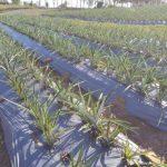 abacaxiorganico1 150x150 - Itapororoca tem o primeiro abacaxi orgânico certificado da Paraíba
