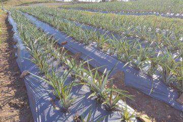 Itapororoca tem o primeiro abacaxi orgânico certificado da Paraíba