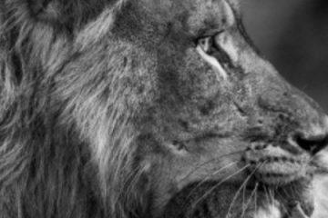 IMAGEM IMPRESSIONANTE: Filhote de macaco se mantém abraçado a corpo da mãe morta por leão