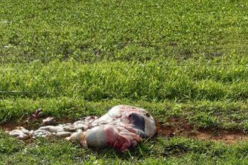 whatsapp image 2019 12 19 at 21.25.39 e1634850277745 360x240 - DESESPERO E CRISE: Criminosos abatem vaca e furtam a carne em fazendas do sertão paraibano, proprietários reclamam da insegurança - VEJA VÍDEO