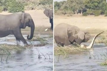 Mamãe elefanta esmaga crocodilo até a morte após ter filhotes ameaçados