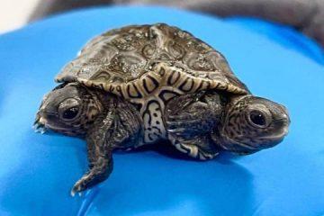 Rara tartaruga de duas cabeças e seis pernas é achada nos EUA